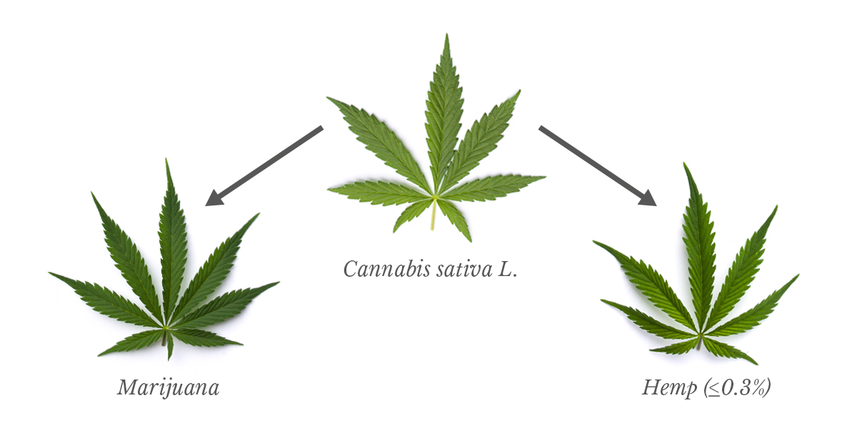 Introduction to the Basics of Cannabis