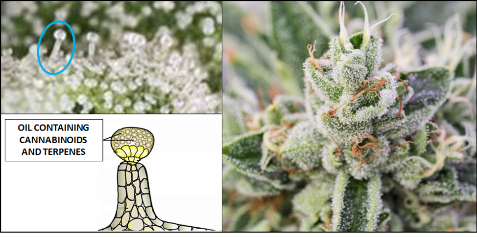 What are Terpenes?   Aphria 10